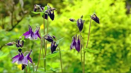 Columbine flower (Aquilegia) with blur green background