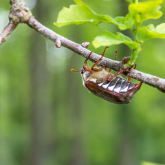 May beetle/A May beetle climbing on the branch of an oak tree