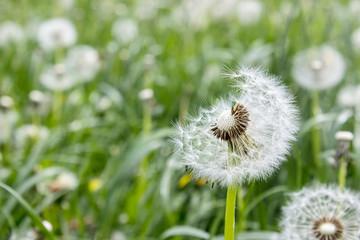 Dandelions/Dandelions on a meadow