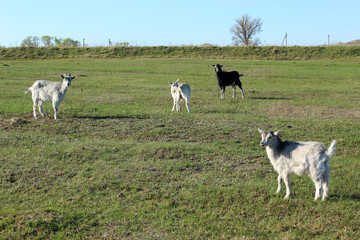 goats on the pasture