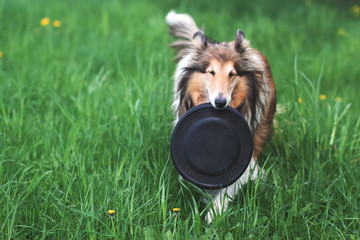 Rough collie dog playing with frisbee
