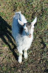 little goat on the pasture