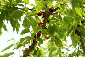 cherries closeup in tree