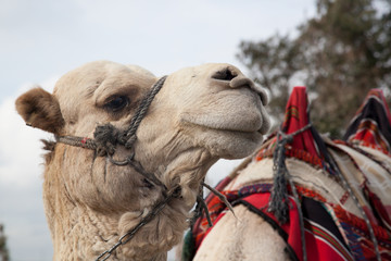 Camel with halter and saddle