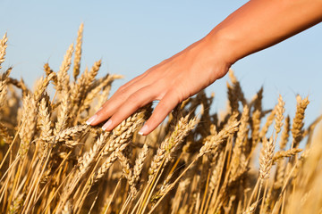 Woman touching wheat