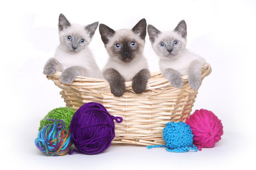 Siamese Kittens on White Background With Yarn