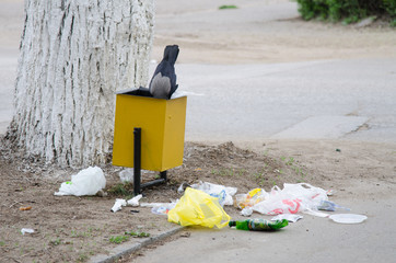 Crow is looking for food in a garbage urn