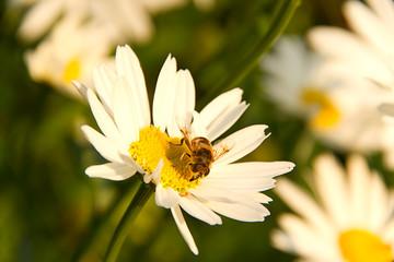 Biene auf Margaritenblume ©yvonneweis