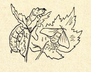 Silkmoth (Bombyx mori)