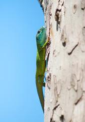 Green blue lizard on a tree
