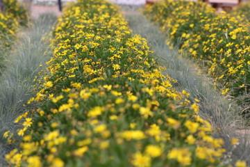 flores amarillas en primavera