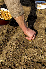 Old woman hands planting shallot