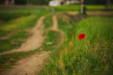 Red poppy on spring wheat field