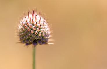 Bud dandelion on nature