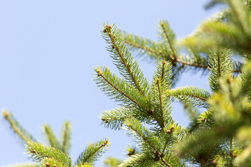 spruce branch on the nature