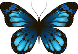 Morpho Beautiful butterfly