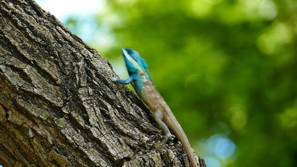 Dragon lizard in nature, running on tree, slow motion.