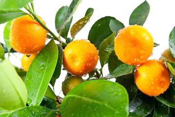 красивые мандарины растут на дереве на белом фоне