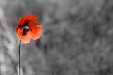 Красный цветок на черно-белом фоне - 83474865