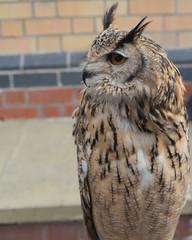 Rescued eagle owl