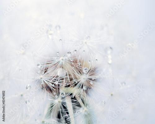 Makro von einer Pusteblume mit Tau Tropfen © pixelliebe