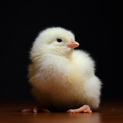 Super cute baby chicken