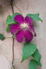 Dark red purple clematis flower and green leaves