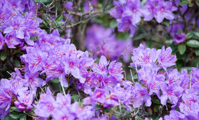 Purple rhododendron flowers closeup