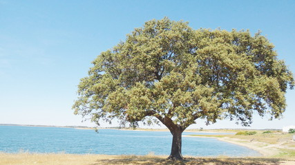 Oak Tree near lake of Alqueva