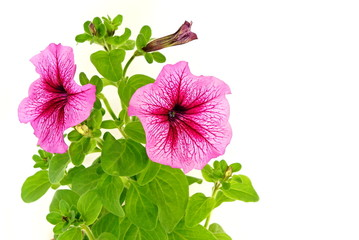 Beautiful pink petunia close up on white background