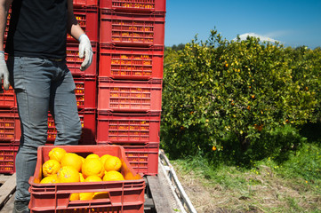 Red fruit boxes full of oranges loaded on a truck