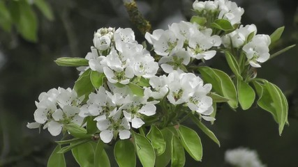Pear Tree Fresh Spring Blossom Flowers