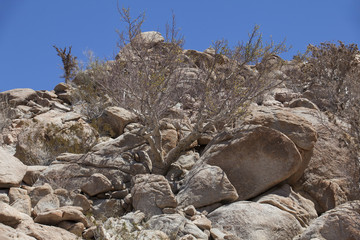 Árbol elefante en el desierto de Baja California