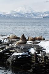 Rookery Northern Sea Lion. Avacha Bay, Kamchatka Peninsula