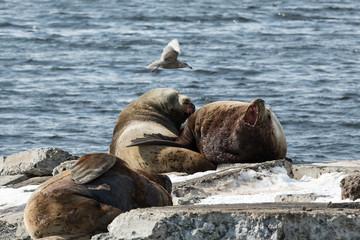 Rookery Steller Sea Lion. Kamchatka, Avacha Bay