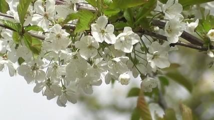 Innocent White Blossoms of Japanese Spring Flowering Cherry