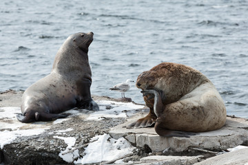 Rookery Northern Sea Lion. Avacha Bay, Kamchatka