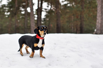 Dog Dachshund in a forest in winter