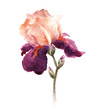 Постер, плакат: Burgundy watercolor iris flower