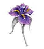 Violet watercolor iris flower