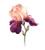 Fototapety Burgundy watercolor iris flower