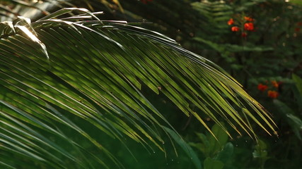 drops of water hang on palm leaves at dawn