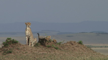 cheetah mother sitting on an anthill with cubs