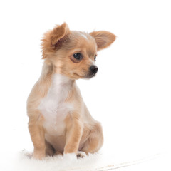 Cute chihuahua puppy looking away