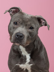 Pit-bull portrait at a pink background