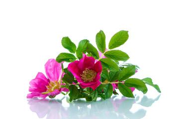 flower blooming wild rose