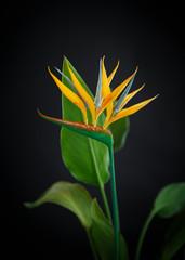 beautiful yellow flower Strelitzia
