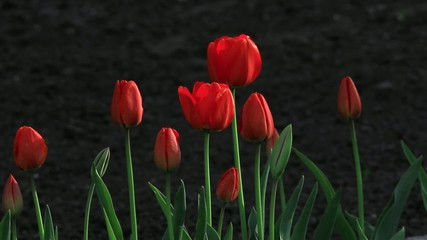 tulips on a black background