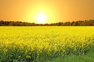 Blühende Rapsfelder bereichern unsere Kulturlandschaft