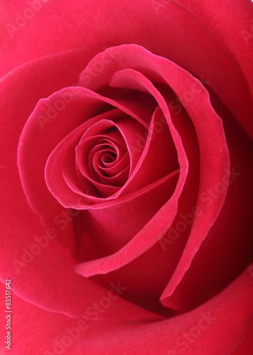 roza-w-kolorze-koralowym